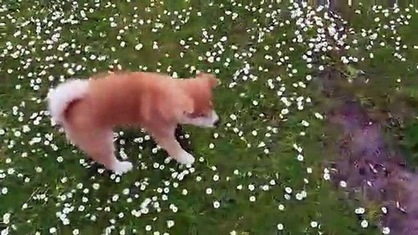 Exploring the Grass (秋田犬)