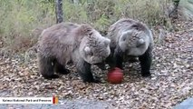 Watch What Happens When A Bear Family Finds A Basketball