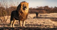 En seulement 25 ans, le continent africain a perdu la moitié de ses lions