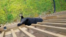 Effrayant : quand un ours monte à ton balcon