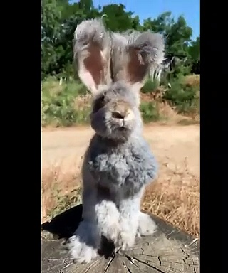 The Most Fluffy & Cute Bunny | Bunny as pets videos | Viral Bunny Videos