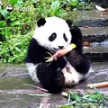 La pousse de bambou n'est pas seulement pour manger; c'est l'accessoire de ce panda pour être mignon aussi!