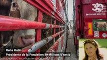 Canicule et records de chaleur en vue : « il faut interdire les transports d'animaux d'abattoir ! »