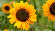 Heat Wave Causing Sunflowers To Bloom Early