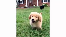 Funny And Cute Golden Retriever Puppies Compilation - Cutest Golden Puppies