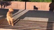 Ce chiot réagit à son ombre ! trop mignon