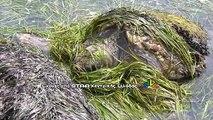 Χελώνα στη Βασιλική Στυλίδας
