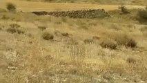 Más de 100 buitres matan a una vaca y a su ternero recién nacido