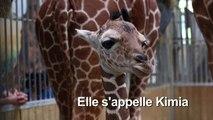 Un girafon voit le jour au zoo de Beauval