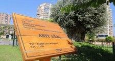 1202 yıllık anıt ağaç, yeni yerinde zeytin verdi