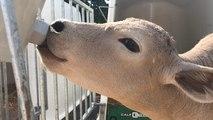 Face à la canicule, l'éleveur bovin s'adapte pour rafraîchir ses bêtes