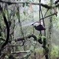 Bel oiseau lyre mâle adulte se toilettant sous une cascade. Superbe !