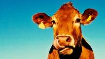 Du bœuf nourri au bœuf dans nos assiettes ? Du soja OGM ? Le vrai / faux du CETA