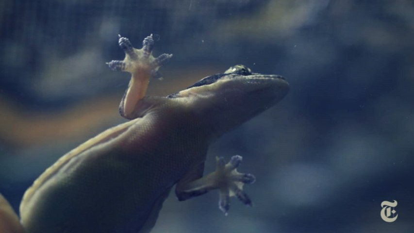 Science Take | How geckos move across water