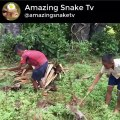 Wow! Brave Boys Catch Village Snake In Jungle How To Catch Village Snake In My Village KM Daily