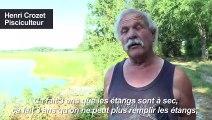 Canicule: la pisciculture de la Dombes aux abois