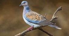 Le gouvernement réfléchirait à l'idée d'autoriser la chasse de 36 000 oiseaux menacés