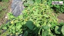 VIDEO. Récolte de cornichons : du champ  de Cheverny à la mise en bocaux à Montrichard