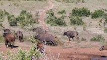 Un bébé éléphant adorable chasse un troupeau de buffles.. Comme papa