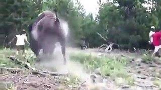 Une fillette chargée par un bison s'en sort indemne