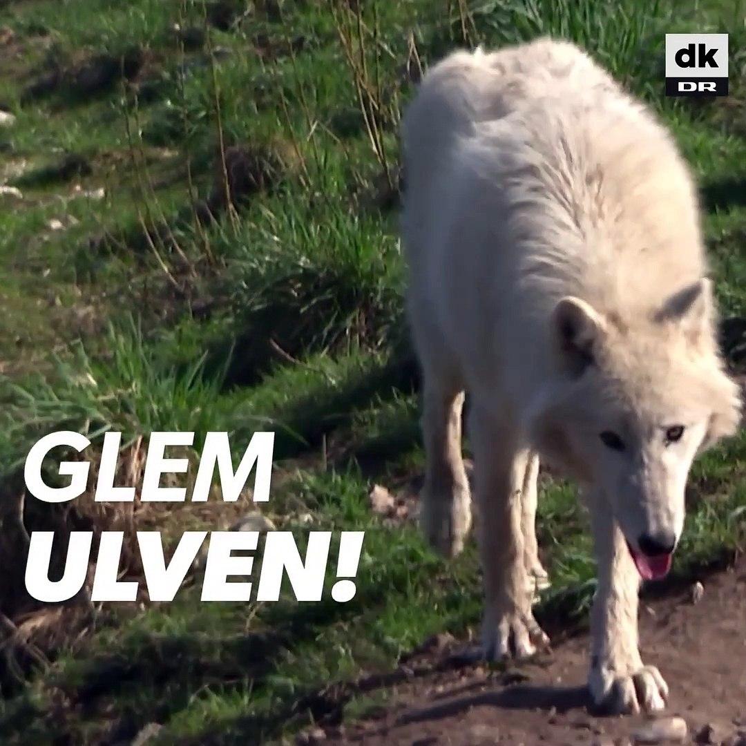 Jesper Stagegaard fra Ree Park er mere nervøs for flåter end for ulve -  DR 23-04-2018