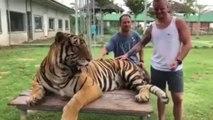 Un tigre lui met un coup de patte dans les testicules