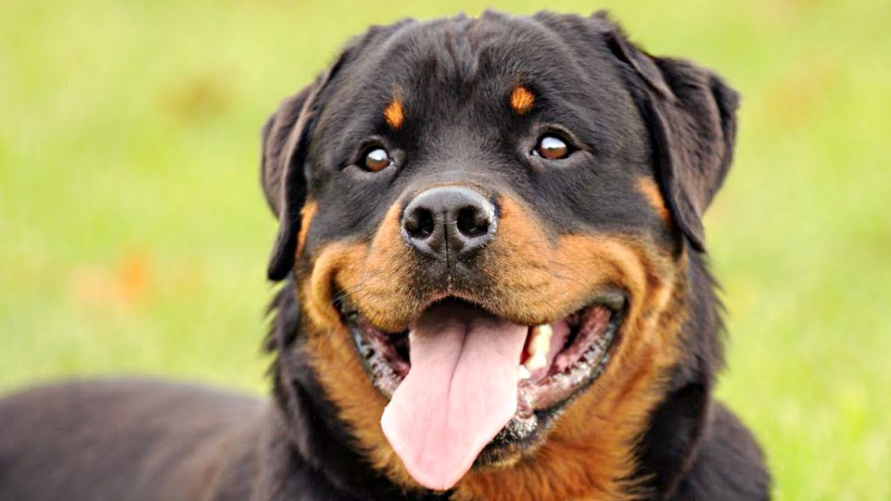 Funny And Cute Rottweiler Videos Compilation 2017 – Funny Dogs Video
