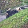 Quand deux pandas se disputent une tige de bambou, voici ce que ça donne !