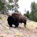 Un bison charge et envoie une petite fille