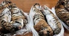 Au Vietnam, sept tigres ont été retrouvés congelés dans le coffre d'une voiture