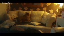 UK bulldog faceplants into couch in while attempting to catch laser light