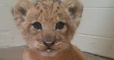 Faites connaissance avec Bahati, l'adorable lionçonne ayant servi à modéliser Simba pour le live-action du Roi Lion