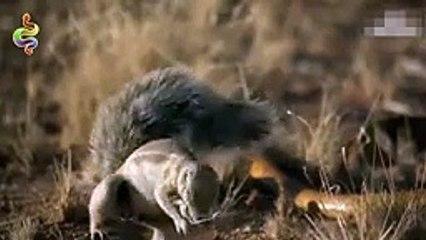 Amazing Snake Python King Cobra Big Battle In The Desert Mongoose - Amazing A...
