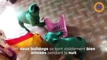 Des bulldogs se teignent en vert