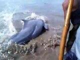 Des touristes se mobilisent pour sauver un dauphin échoué sur la plage