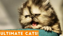 Ultimate FUNNY CAT and KITTEN Compilation of 2018 - Funny Pet Videos