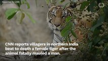 Tiger Beat To Death By Villagers In India