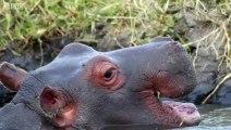 Do Hippos Swim - Natural World- Hippos - Documentary