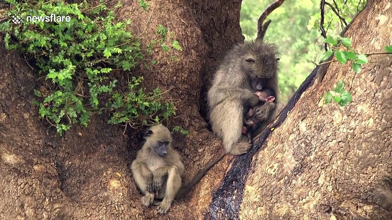 The circle of life: A baboon feeds her baby, while buffaloes mourn their dead