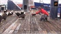 Des dizaines d'aigles sauvages viennent manger sur le quai de ce port