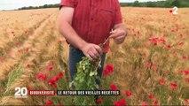 Environnement : le coquelicot, de retour dans les champs