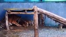 População de tigres selvagens cresceu 30% na Índia