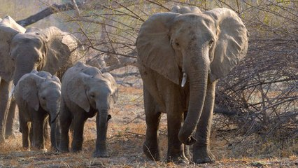 How Adult Elephants Help Feed Younger Herd Members