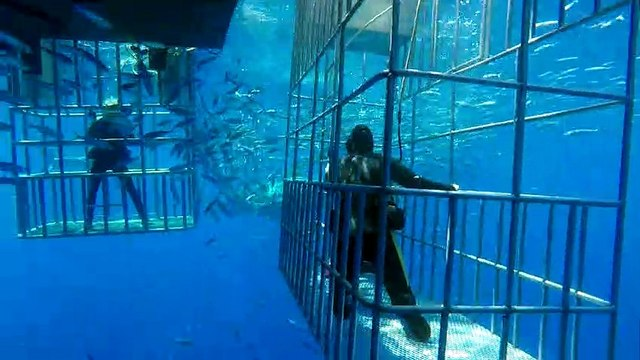 Great White Shark attacking bait