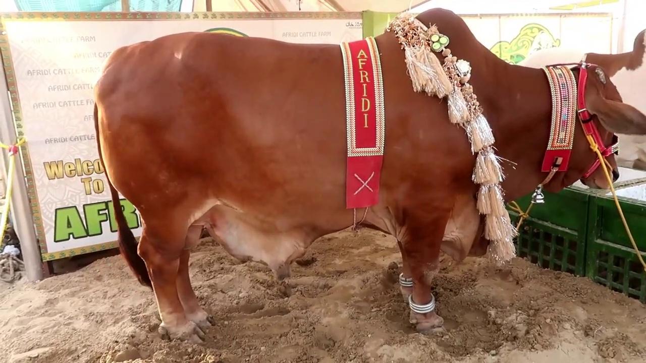 COW MANDI SOHRAB GOTH 2019 KARACHI – AFRIDI Cattle Farm – VIP TENTS – Episode – 11  in URDU HINDI