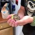 Admirez cet écureuil qui mange de la laitue goulûment !