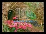 Lyre Bird Imitating Sounds David Attenborough