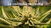 Le cannabis renferme des antidouleurs 30 fois plus puissants que l'aspirine