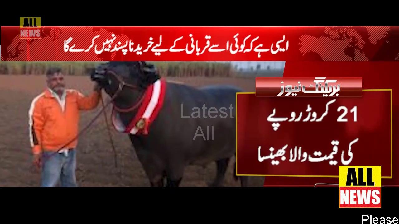 Buffaloes worth Rs 21 crore in mandi | Eid al-Adha | Muslim | Cow