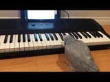 Parrot Plays a Tune on Piano Keyboard Using Her Beak